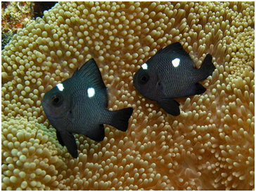 http://www.scuba-equipment-usa.com/marine/MAR06/images/Dascyllus_trimaculatus.jpg